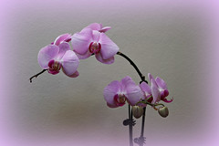 2018 Sydney: Pretty Orchids (dominotic) Tags: 2018 flower orchid purple sydney australia