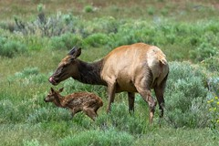 Time to clean up mom (ChicagoBob46) Tags: elkcow elkcalf elk calf cow yellowstone yellowstonenationalpark nature wildlife coth5 ngc npc naturethroughthelens