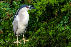 Black-Crowned Night-Heron (mayekarulhas) Tags: oceancity newjersey unitedstates us bird heron black birds avian canon canon500mm canon1dxmark2