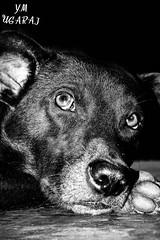MENS BEST FRIEND (SAI YM UGARAJ) Tags: puppy puppies blackwhite thinking nikon dslr d7100 50mm f18