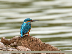 Common Kingfisher (Alcedo atthis) (gilgit2) Tags: avifauna birds canon canoneos7dmarkii category commonkingfisheralcedoatthis fauna feathers geotagged imranshah islamabad location pakistan rawallake species tags tamron tamronsp150600mmf563divcusd wildlife wings gilgit2 alcedoatthis