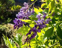 20180715-062 (sulamith.sallmann) Tags: pflanzen blume blumen botanik cotentin floral france frankreich lahague lila manche natur normandie pflanze siouvillehague violett sulamithsallmann