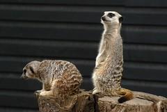 Cheeky meerkats (emily.morison) Tags: meerkat mammal farm whitehouse morpeth north east animal depth