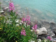 Rivers Edge ... (Mr. Happy Face - Peace :)) Tags: wildflowers art2018 rockies lakelouise banff canada summer
