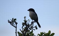 Northern Fiscal (Shrike) (jd.willson) Tags: jd willson jdwillson nature wildlife birds birding africa tanzania arusha national park northern fiscal shrike