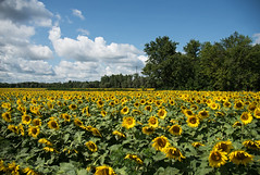 All Aglow D7C_7082 (iloleo) Tags: sunflower landscape farm field colourful summer ontario nature nikon d750
