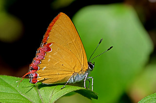 Heliophorus indicus - the Indian Purple Sapphire