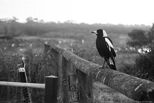 Australian Magpie  #968