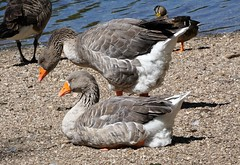 Greylag geese (Deanne Wildsmith) Tags: goose greylaggoose bird waterfowl branstonwaterpark staffordshire earthnaturelife