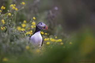 Puffins and butter cups