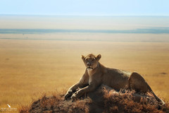 Lioness On Top Of A Mound (pbmultimedia5) Tags: serengeti national park lioness panthera leo mound grassland savannah sky wildlife pbmultimedia