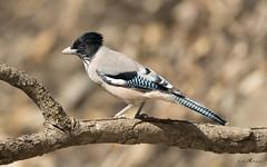 Black-headed jay (arunprasad.shots) Tags: perch jay explore ngc sattal birds india birdsofindia himalaya nikon prime nature branch