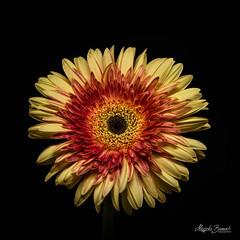 Gerbera (Magda Banach) Tags: canon canon80d sigma150mmf28apomacrodghsm blackbackground colors flora flower gerbera macro nature plants red yellow
