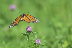 MONARCH BUTTERFLY (Alex Borbely) Tags: monarchbutterfly insects insectsinflight butterfliesinflight alexborbely d4