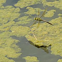 Emperor Dragonfly (female) (ianbartlett) Tags: outdoor macro landscape wildlife nature birds butterflies dragonflies cattle flight flowers colour light shadows clouds