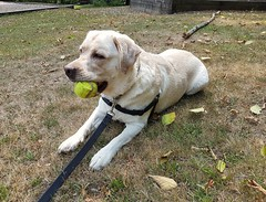Gracie and newly found ball (walneylad) Tags: gracie dog canine pet puppy lab labrador labradorretriever cute august summer afternoon eastviewpark