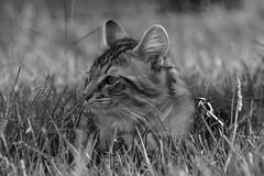 Kittens (runningman1958) Tags: nikond7200 d7200 nikon cat kitten kittens feline