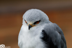 Black-Shouldered Kite (Mike House Photography) Tags: bird prey falcon eagle hawk talons beak wings flying flight fly yellow green brown white eyes sharp meat eater tail tips conservation wildlife animal photography