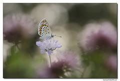 Azuré des coronilles - Plebejus argyrognomon #2 (Maryline ROHER) Tags: azurédescoronilles plebejusargyrognomon butterfly papillon