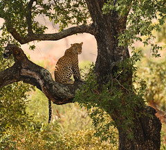 Vantage Point (Aubrey Stoll) Tags: leopard cat feline predator tree sabie river kruger national park africa leaves branches daylight shade vantage point high up looking patterned fur hunter tail trees