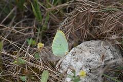 Gonepteryx cleopatra (esta_ahi) Tags: olèrdola insectos fauna lepidoptera mariposa papallona butterfly gonepteryx cleopatra gonepteryxcleopatra pieridae penedès barcelona spain españa испания