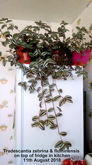 Tradescantia zebrina & fluminensis on top of fridge in kitchen 11th August 2018 (D@viD_2.011) Tags: tradescantia zebrina fluminensis top fridge kitchen 11th august 2018