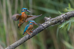 R18_8737 (ronald groenendijk) Tags: cronaldgroenendijk 2018 rgflickrrg alcedoatthis animal bird birds copyrightronaldgroenendijk europe groenendijk holland ijsvogel kingfisher martinpecheur nature natuur natuurfotografie netherlands outdoor ronaldgroenendijk vogel vogels wildlife