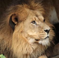 African lion Caesar Artis JN6A1667 (j.a.kok) Tags: leeuw lion africa afrika afrikaanseleeuw africanlion animal artis mammal zoogdier dier predator pantheraleoleo kat cat