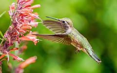Broad-tailed Hummingbird (Bernie Duhamel) Tags: hummingbird broadtailedhummingbird bird colorado coloradowildlife wildlife sunshine sonyfe100400mm sonya9 greatphotographers teamsony rockymountains frontrange bernie duhamel flight flying
