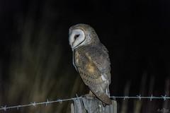 The Night Watchman DSC_4267 (BlueberryAsh) Tags: barnowl bird owl tytoalba westerntreatmentplant pointwilsonrd night nightbird tamron150600 nikond500