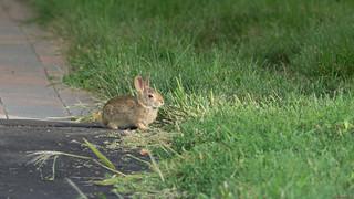 Petit lièvre,  little hare, Ottawa - 7626