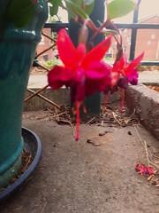 pink fushias (kstepthenjohn84) Tags: fushia fushias pink pinkness