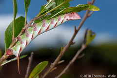Candy-Cane Caterpillar (Tom's Macro and Nature Photographs) Tags: macrophotography insects caterpillar larva butterfliesandmoths moths sphinxmoth sphingidae lepidoptera madagascar