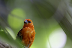 The Madagascan Fody (Hemzah Ahmed) Tags: finch red plummage bird birds animal animals nature naturephotography canon5dmarkiii canon5dmark3 canon100400mmf4556lisiiusm canon100400mm green bokeh bokehlicious depthoffield dof beak brightorange orange ornithology natur day fody madagascanfody