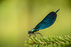 Dragonfly (U N N I E D O L L S) Tags: nikond7200 nature naturephotography nikonphotography d7200 nikonnature nikkor unniedolls dragonfly dragonflyphotography