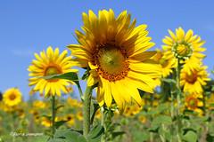 Colorful sunflowers (Fabke.be) Tags: flowers flower bloemen bloem zonnebloem sunflower yellow green blue sky bluesky nature natuur natuurpunt heurne oudenaarde belgium belgique belgië vlaanderen vlaamseardennen beautiful amazing colorful colors planet earth canon7dmkii canon7dmk2