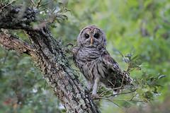 Barred Owl (Greg Lavaty Photography) Tags: barredowl strixvaria texas july brazosbend statepark ftbendcounty birdphotography outdoors bird nature wildlife