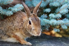 Underneath It All (flipkeat) Tags: rabbit cute portrait animal nature wildlife different portcredit awesome sony a77ii