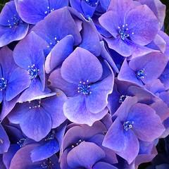 blue  -  purple (PeterCH51) Tags: blue purple hydrangea hortensie hortensia macro makro closeup blueflower purpleflower isolabella borromeanislands iphone peterch51 bluehydrangea purplehydrangea square squareformat