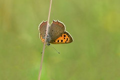 """High Wire Act"" (AndyorDij) Tags: smallcopperbutterfly smallcopper lycaenaphlaeas butterfly insect grass 2018 andrewdejardin england empingham rutland uk unitedkingdom lepidoptera gunnellane sssi"