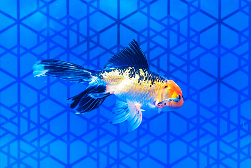 Calico Oranda (goldfish) of Sumida Aquarium in Tokyo Sky Tree Town : アズマニシキ(東京スカイツリータウン・すみだ水族館)