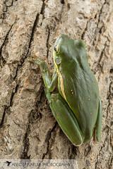 American green tree frog (Hyla cinerea) 20180708_2338 (Abbott Nature Photography) Tags: animals amphibiansamphibia frogsandtoadsanura hylidaetruefrogs neobatrachia organismseukaryotes vertebratavertebrates gordo alabama unitedstates us