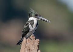 Amazon Kingfisher (female) (Tris Enticknap) Tags: brazil thesouthernpantanal fazendabarrancoalto southamerica amazonkingfisher nikond500 chloroceryleamazona