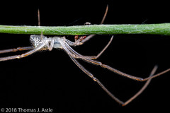 Mirror Spider With Springtail (Tom's Macro and Nature Photographs) Tags: macrophotography arthropods hexapod arachnids spiders mirrorspider collembola springtail madagascar