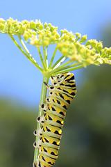 Parasol (dianne_stankiewicz) Tags: caterpillar nature wildlife parasol sun umbrella dill plant macro