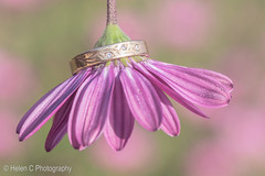 Variations on a theme (Helen C Photography) Tags: flower floral daisy petals nature beauty beautiful purple pink ring engagement wedding jewelry jewellery diamonds inspiration creative creativity nikon d750 105mm macro closeup bokeh