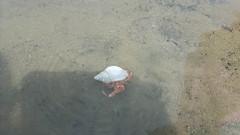 Hermit Crab, Ogmore Beach, Bridgend (charlywhitlow) Tags: hermitcrab crab beach sea sand bridgend ogmore ogmorebeach