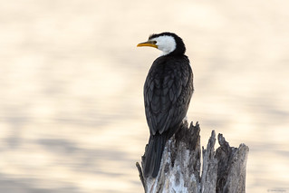 Little Pied Cormorant : Just chilling like they do