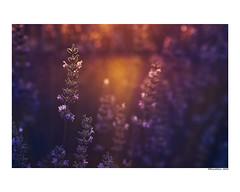 (david Ramalleira) Tags: davidramalleiraphotography davidramalleira nikon nature naturaleza natureart naturephotography naturesfinest naturesart natura primavera spring lavanda