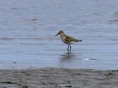 distant Curlew Sandpiper 12.8.18 (ericy202) Tags: curlewsandpiper wadingbird snettishamrspb